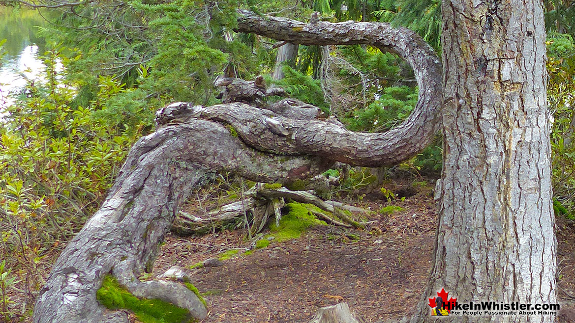 Whistler Trees: Mountain Hemlock Bark
