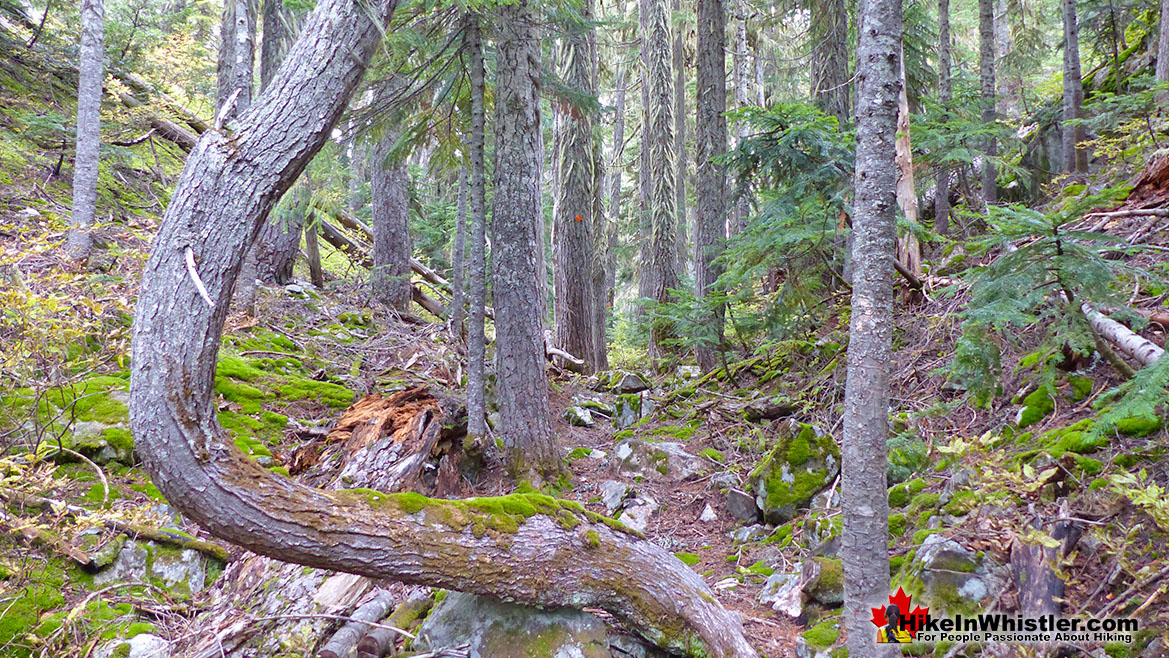 Whistler Trees: Mountain Hemlock Bent Shape