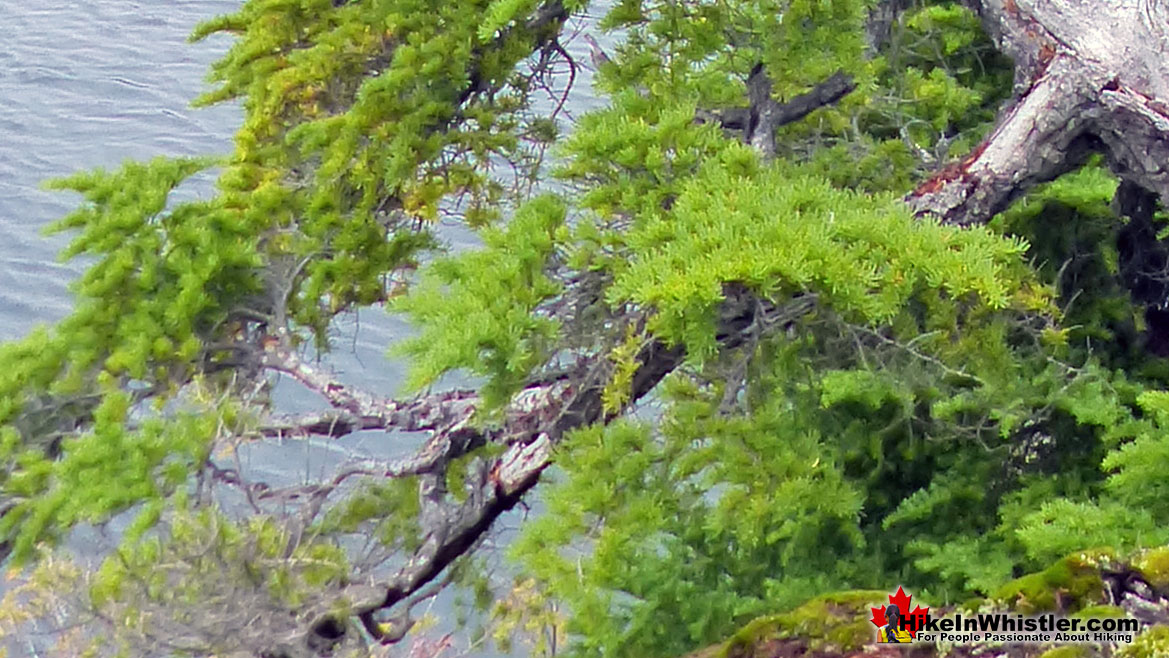 Whistler Trees: Mountain Hemlock Needles