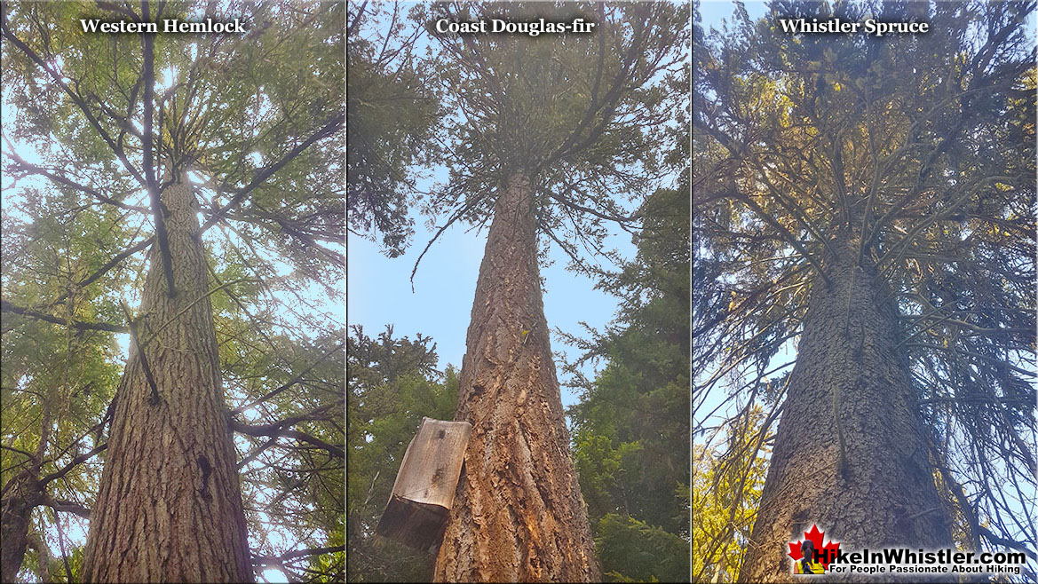 Western Hemlock Tree Comparison