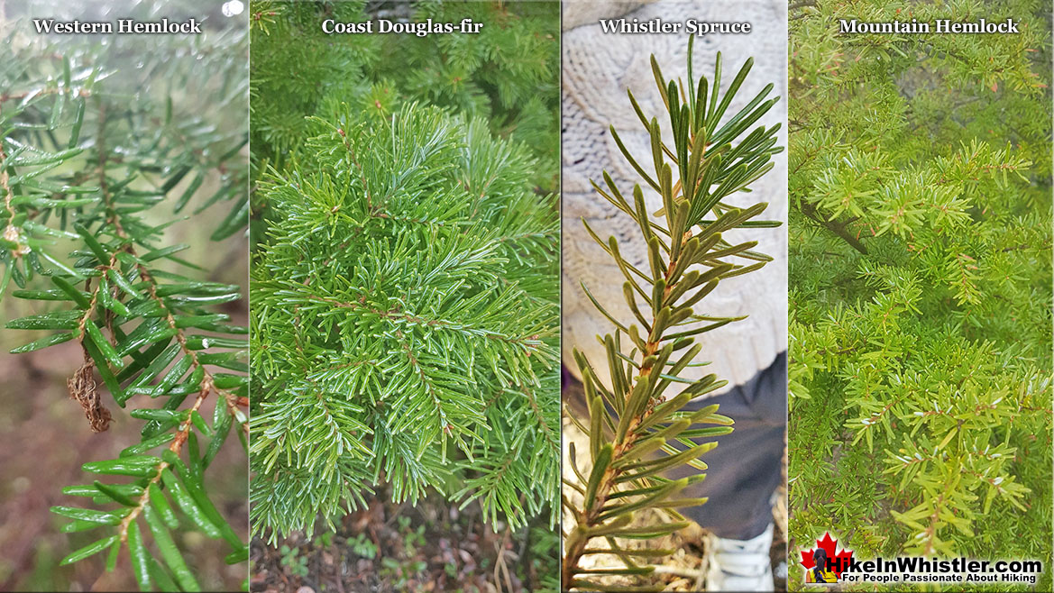 Western Hemlock Needles Comparison