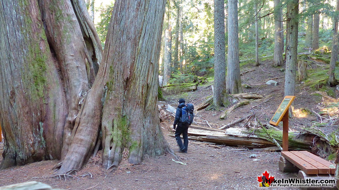 Ancient Cedars Hike in Whistler