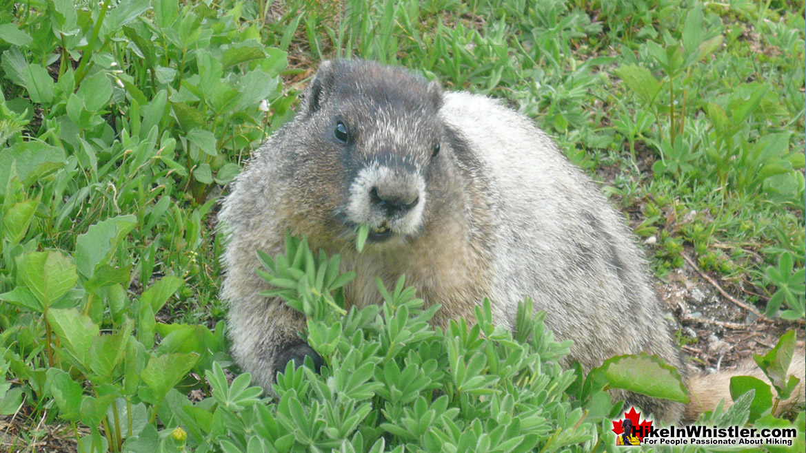 Hoary Marmot on the High Note Trail